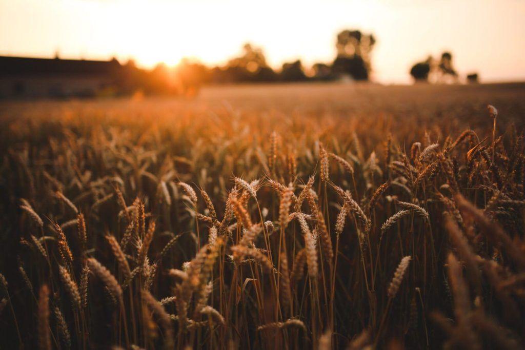 field-grain-harvest-5980-scaled-scaled-1.jpg